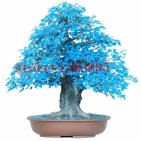 20pcs / sac érable bleu graines d'arbres, graines de bonsaï, graines d'arbres, haute 60cm plante en pot rare pour le jardin de la maison DIY