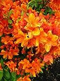 bronzegelb blühende Garten Azalee Rhododendron luteum Golden Eagle 40 - 50 cm hoch im 5 Liter Pflanzcontainer