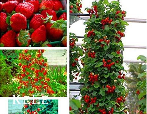 buenos comparativa ¡Gran venta!  200 piezas.  Sabor saludable de semilla de fresa roja rizada * Fresa No.… y opiniones de 2021