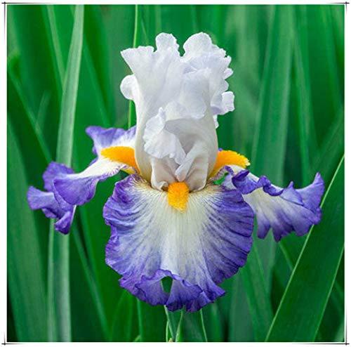 Iris Rhizome,Schwertlilien Winterhart Staude,Langlebige Pflanzen,Gartenpflanzen,Angenehme Pflanzen Schöne Jugend-7 Zwiebels