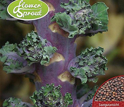 Kohl Flower Sprout Autumn Star Samen