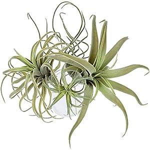 Facibom 4Pack Artificial Pineapple Grass Air Plants Fake Flowers Faux Flocking Tillandsia Bromeliads Home Garden Decor