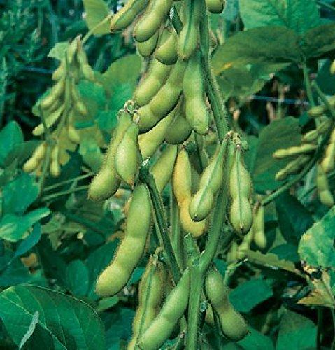 Butterbohnen, Sojabohne, butterweicher Geschmack+gesunde, von unserer ungarischen Farm samenfest, nur organische Dünger, KEINE Pesztizide, KEIN GMO, BIO hu-öko-01