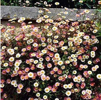 Acecoree Samen- 100 Stück Spanisches Gänseblümchen Samen Wiesen-Gänseblümchen Blumen Mischung Bodendecker winterhart mehrjährig Blumen pflegeleicht für Terrasse/Balkon/Garten