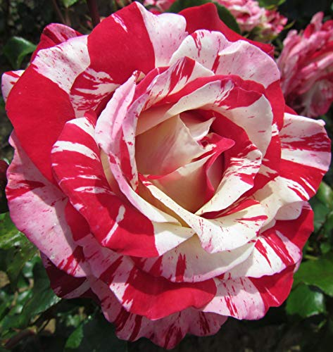 Rock and Roll - 5.5lt Potted Hybrid Tea Garden Rose Bush - Red/White Stripe - Strong Fragrance