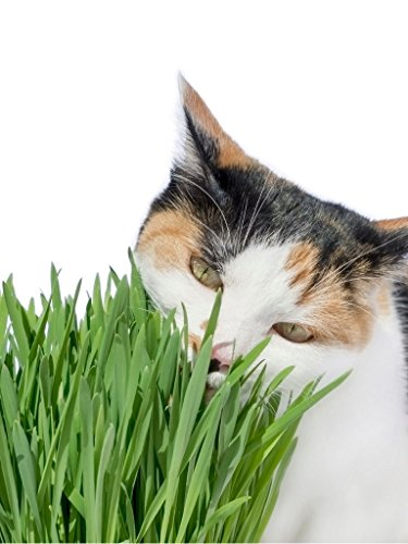 Cat Grass Wheat Seeds 1 LB(13,500+Seeds)-Grow Greens for Your Pets !