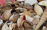 Muschelmix ca 1kg | Bastelmuscheln | Deko Muschel | Deko Schnecken | maritime Dekoration (1 Kilogramm)