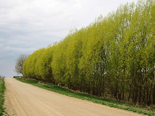 20+ Thin Hybrid Willow Tree Cuttings. Pencil Size or Smaller. Grow 20+ Trees