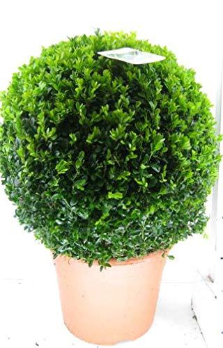 2 Stück Buchsbaum Kugel, Durchmesser: 40 cm, Buxus sempervirens