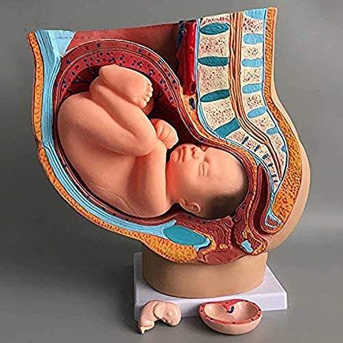 Pelvis Femenina Humana Embarazada anatómica médica con Embarazo 9 Meses Modelo de feto de bebé tamaño Natural con órganos extraíbles Pintados a Mano (4 Partes)