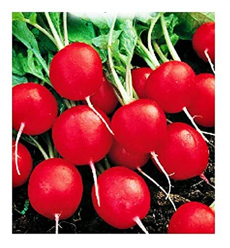 Graines de radis saxa sel. rubis - légumes - raphanus sativus - rv002 - les meilleures graines de plantes - fleurs - fruits rares - radis - idée cadeau originale - 1000 graines environ
