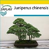 SAFLAX - Anzucht Set - Bonsai - Chinesischer Wacholder - 30 Samen - Mit Mini-Gewächshaus, Anzuchtsubstrat und 2 Töpfen - Juniperus chinensis