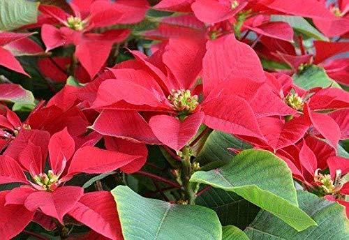 PLAT FIRM SEMILLAS DE GERMINACION: 100 pcs Red Poinsettia Semillas, Euphorbia Pulcherrima, planta en maceta