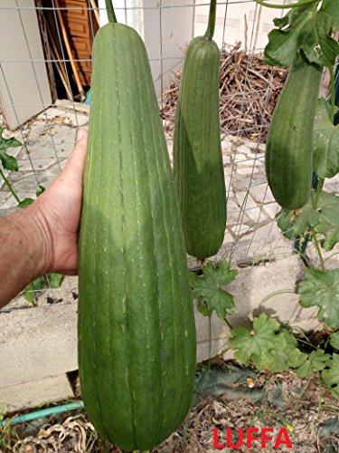 Alto rendimiento loofah, esponja, chino okra, semillas de hortalizas Luffa acutangula (VC0014)