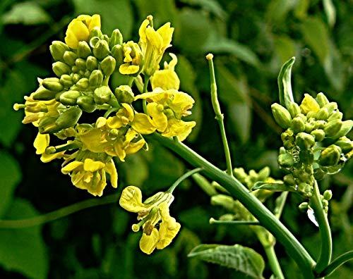 100 brauner Senf Samen, Brassica juncea, Saatgut zur Aussaat im Garten oder Topf