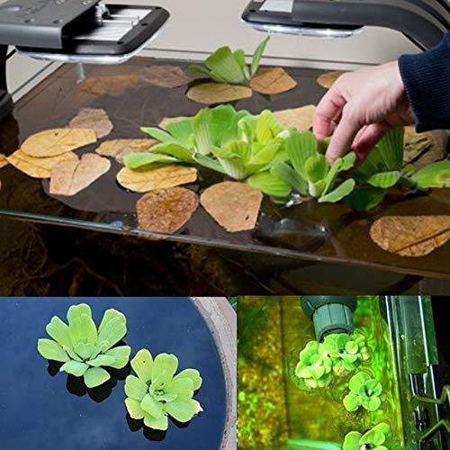 Planta Flor Vegetal Fruta Semillas De Árbol Semillas De Pistia Flotantes De Agua Verde Resistente Al Frío Semillas De Jacinto Para El Hogar - Pistia Seeds