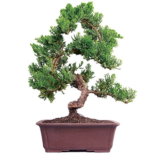 Brussel's Live Green Mound Juniper Outdoor Bonsai Tree - 7 Years Old; 14' to 16' Tall with Decorative Container - Not Sold in California