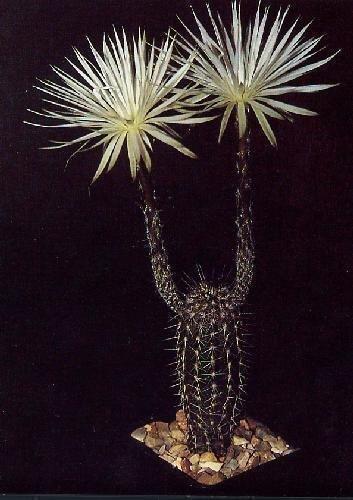 Tropica - Kakteen - Südamerikanischer Seeigelkaktus (Echinopsis mirabilis) - 40 Samen