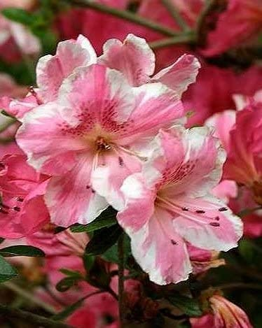 Clearance SALE Limited time Conversation Piece Limited price Azalea Rhododendron 'Conversation
