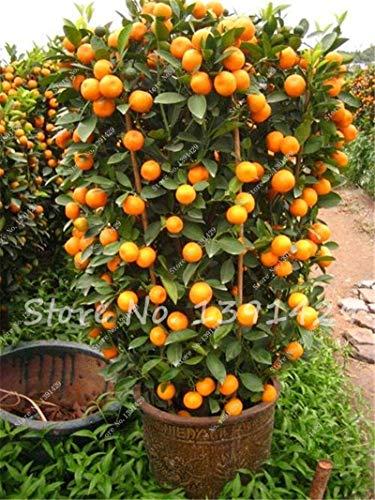 40 Teile/beutel Heißer Verkauf Kumquat Samen Bonsai Orangenbaum Samen Bio Obstbaum Lecker Saftige Samen Blumentopf Pflanzgefäße