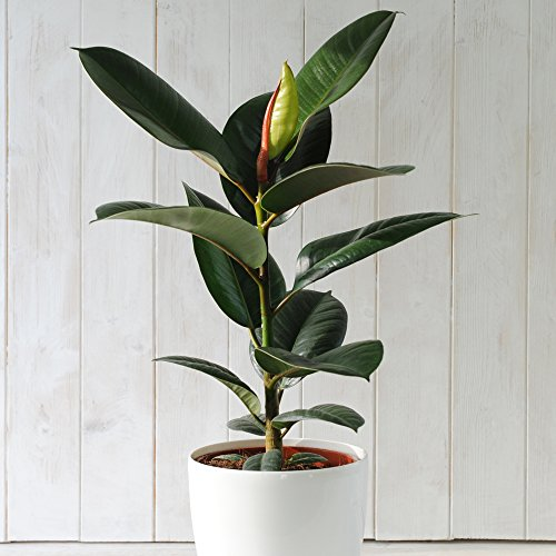 Indian Rubber Plant Indoor Tree Easy to...