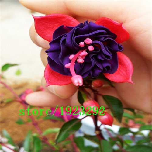 vente grand fuchsia, Bonsai fleurs lanterne graines de fleurs fuchsia - 100 pcs