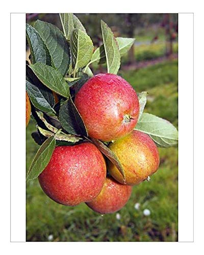 Media Storehouse 10x8 Print of Braeburn Apples (Malus domestica) Growing on an Apple Tree, Fruit-Growing (12555055)