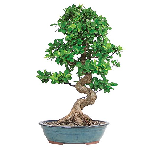 Brussel's Live Grafted Ficus Indoor Bonsai Tree - 14 Years Old; 18' to 24' Tall with Decorative Container