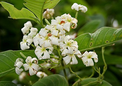 holarrhena pubescens, Osterbaum, Jasminbaum, Bitter-Oleander, 10 Samen