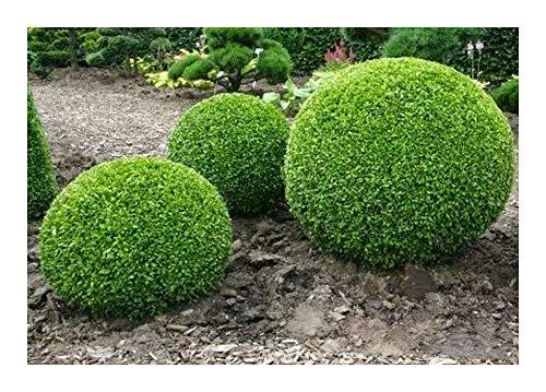 Buxus sempervirens - Buchsbaum - 20 Samen
