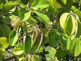 Akebia quinata - Klettergurke, Schokoladenwein - 60-100 cm