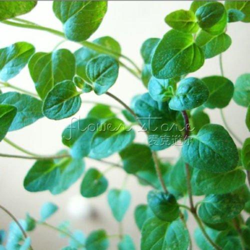 400 origan italien Great Garden Herb Seeds ~ ~~ arôme étonnant spécial cuisson herbe