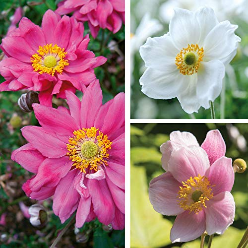 Japanese Anemone Collection 6 Bare Roots by Thompson and Morgan (6)