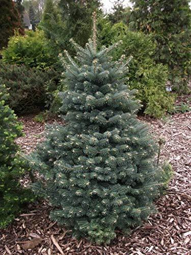 100 Samen: Blau Balsam-Tanne, Balsam-Tanne Köche Blau, Baum Samen (Fragrant Evergreen)