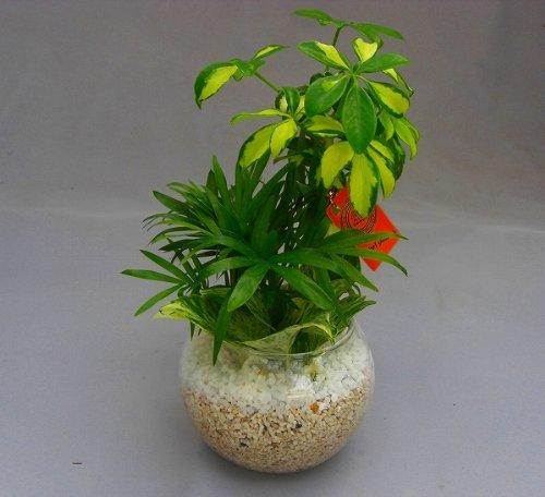 ハイドロカルチャー寄せ植え(サンゴ砂)2鉢セット バブ12 見た目が大変キレイで清涼感のあるデザインです。サンゴ砂は、雑菌等の抑制、水の濾過効果があり水質が清潔な状態で保たれます。お部屋のインテリアや贈り物に最適です。