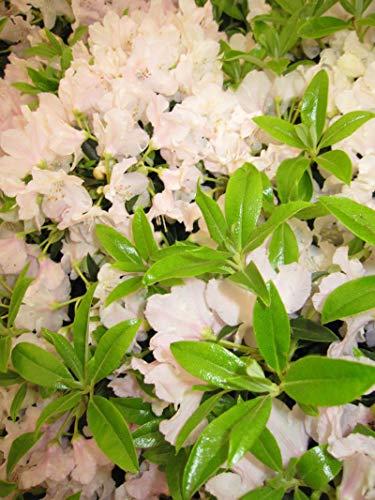 Rhododendron keleticum Robert Seleger