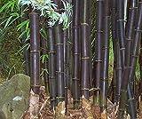 Bambusa lako - bambú negro de Timor - 50 semillas