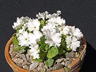 15 Potentilla nitida Seeds. White Flower Seeds