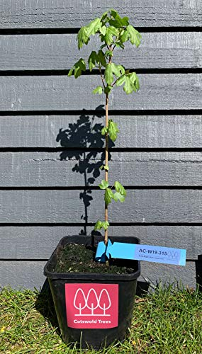 Field Maple Tree (Acer campestre) 30-60cm Tall Pot Grown by Cotswold Trees