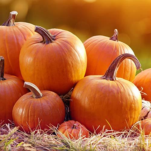 Samen für ca. 10 Pflanzen Jack O`Lantern Kürbis - idealer Halloweenkürbis