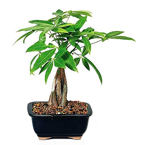 9GreenBox - Money Tree Bonsai with Ceramic Pot