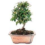 Bonsái 7 Años Cotoneaster Franchetii Planta Natural Árbol Interior y Exterior