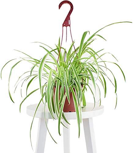 Leaf & Linen | Hanging Collection Bonnie Spider Chlorophytum Comosum, Variegated Curly Leaves, Air Purifying Indoor...