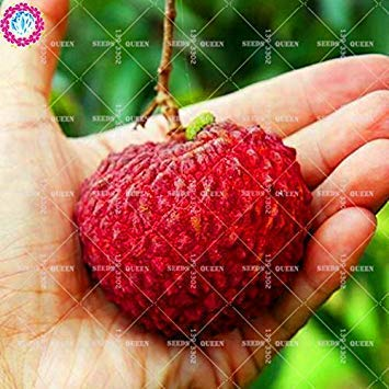 11.11 Große Förderung! 10 PC/Los Riesen Litschi Samen Saft Obst Pflanzensamen Topf in Garden & Home aweet Perennial Bio-Kräuter-Pflanze