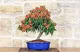 Pyracantha bonsai tree (113)