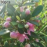 quanjucheer 30pcs semi di mirto rhodomyrtus tomentosa semi arbusto cespuglio fiore pianta decorazione del giardino di casa semi di rhodomyrtus tomentosa