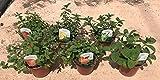 Menta Mix Sabores Pack 6 Plantas con Fragancias a frutos Variados-100 % COMESTIBLE - Planta Natural y Aromática - Vipar Garden 40