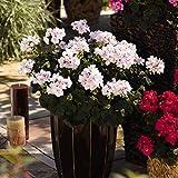 pflanzenkoelle Geranie 'Savannah White Splash', 6er-Set, weiß-rosa, Topf 13 cm Ø