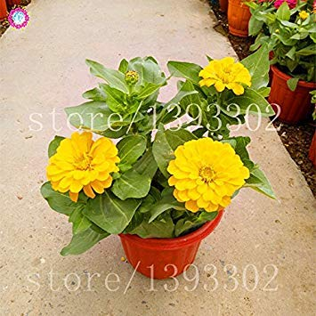 50PCS Bonsai Graines Zinnia Multicolor chrysanthème belle boule de feu Graines de fleurs en pot Plantes Pour jardin 12