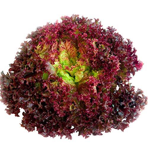Violet Rouge Laitue Graines Nutrition Légumes Printemps Burger Crème Café Légumes Graines Shouguang Graines De Légumes 500g